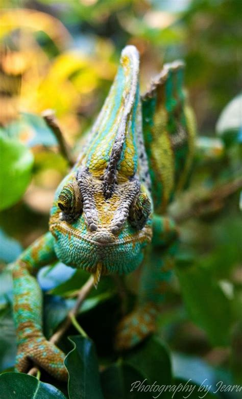 veiled chameleon colors veiled chameleon colors