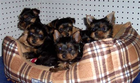 how to litter a yorkie puppy yorkie breeder terrier puppies for sale