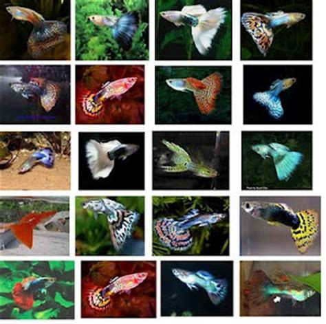 guppies colors guppy fish information