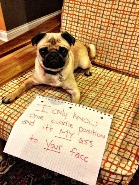 pug shaming more pug shaming