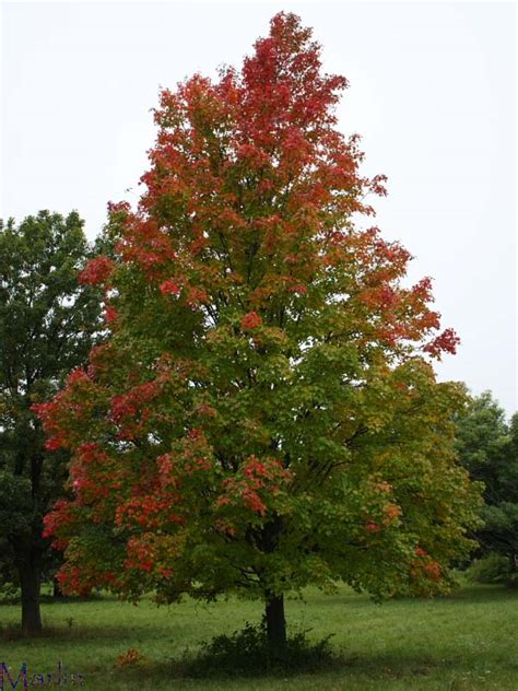 problems with maple trees bowhall maple acer rubrum bowhall american insects spiders