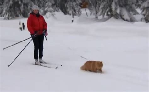 dogs on skis who needs a sled this cat pulls its owner on cross country skis outdoorhub
