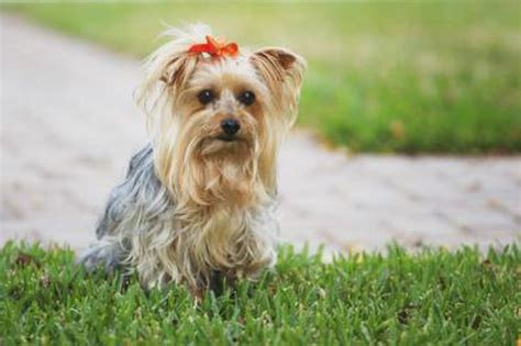 silky terrier and yorkie difference what is the difference between a yorkie a silky terrier cuteness