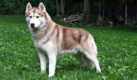 husky puppy facts siberian husky breed information