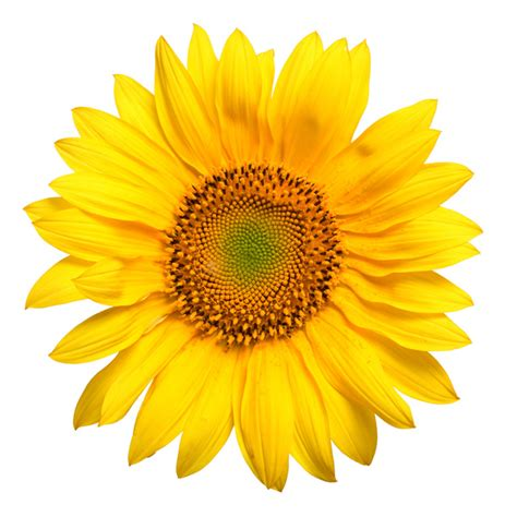 Flower Sun 1 brighten up a day with summer flowers history of the radiant sunflower the floral