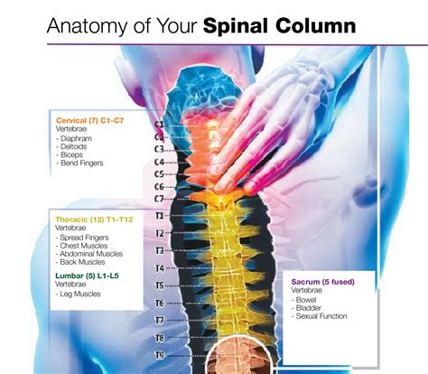 diagram of cervical spine spine anatomy human anatomy diagram