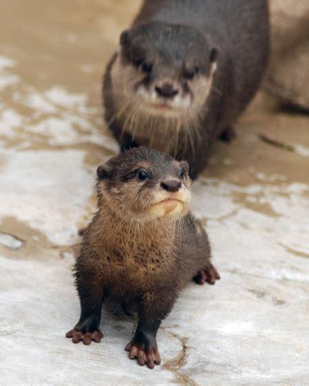 otter pups   family  eleven zooborns