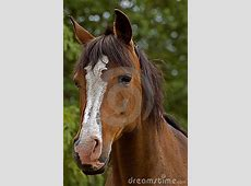 Bay Horse Front View Royalty Free Stock Images - Image ... Horse Background Clipart