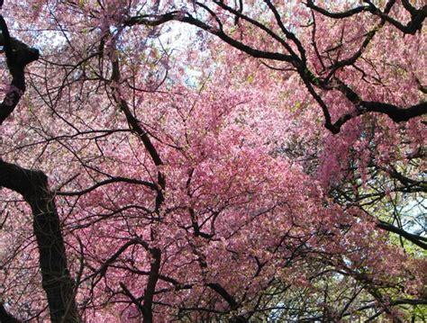 japanese cherry blossom tree image japanese cherry blossom tree download