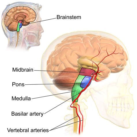 brain stem diagram basilar artery