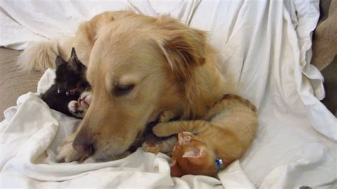 guilty golden retriever denver tiny kitten clawing attacking big s golden retriever
