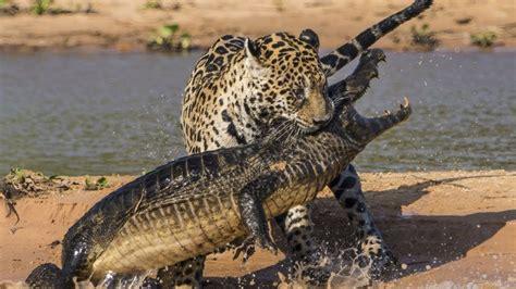 jaguar hunts crocodile the top 10 top 10 jaguar vs crocodile jaguar attacks
