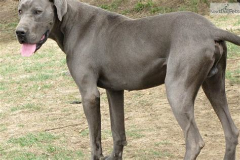 great dane puppies for sale in iowa great dane puppy for sale near des moines iowa 5d0547cf a111