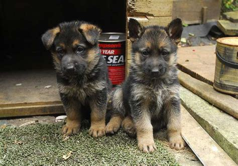 what to feed german shepherd puppy feeding german shepherds
