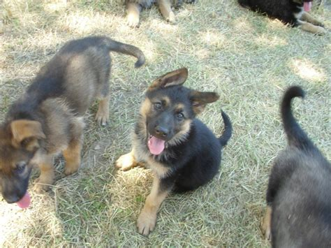 puppies for sale redding ca white german shepherd puppies for sale redding ca photo