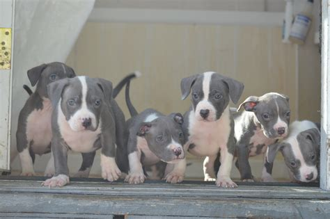 bully pitbull puppies for sale in ohio pitbull breeders and kennels to breeds picture