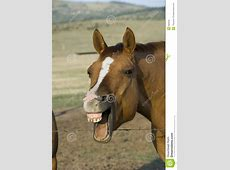 Laughing Horse Royalty Free Stock Image - Image: 982846 Horse Background Clipart