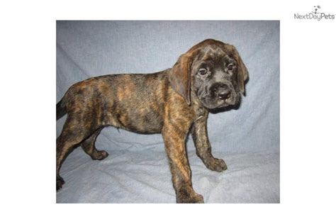 brindle mastiff puppy mastiff puppy for sale near southeast missouri missouri 97397ea6 8b51
