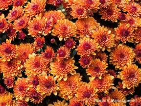 fall garden mums hardy mums how to winter mums in the garden