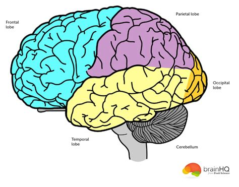 for the brain brain anatomy image gallery brainhq from posit science
