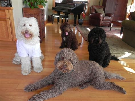 mini goldendoodles east coast 17 best images about dogs on poodles minis
