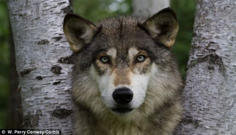 are dogs descended from wolves dogs are not descended from modern wolves but split from common ancestor 34 000 years