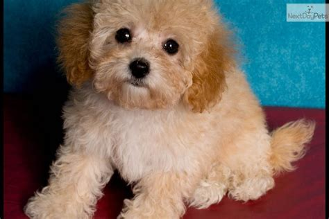 maltipoo puppies for sale in ohio maltese puppies for sale in ohio breeds picture