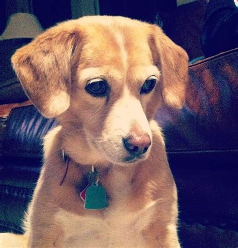 beagle mixed with golden retriever golden retriever beagle mix animal lover