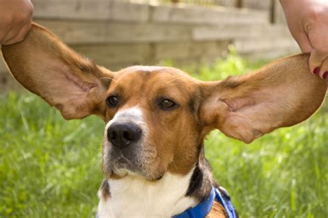 cortana show me pictures of floppy eared dogs lion s heart teen volunteers and leaders