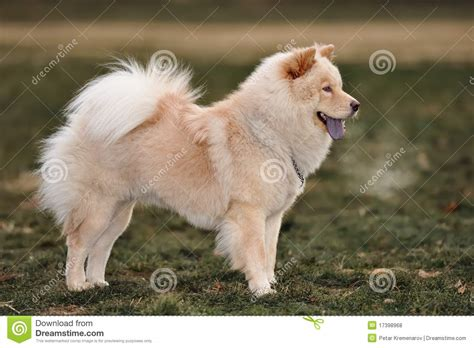 chow chow chow chow royalty free stock photos image 17398968