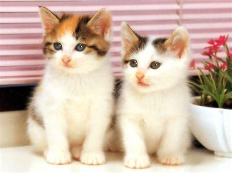 twin cats cats diana khayyat