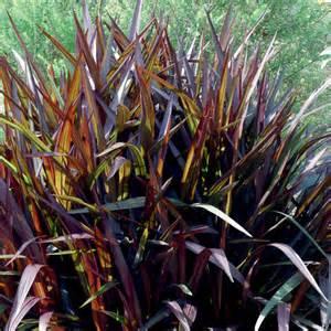 princess purple fountain grass pennisetum purpureum
