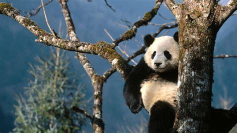 wallpaper hd panda panda hd wallpapers free download tremendous wallpapers
