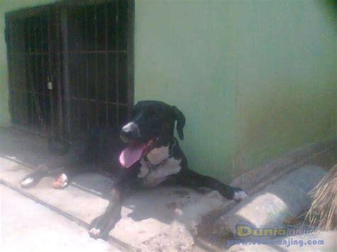 Jual Karung Goni Tangerang dunia anjing jual anjing american pit bull terrier