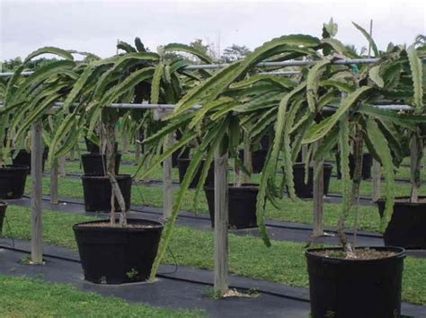 Bibit Pohon Buah Naga pin cara menanam buah nagacara bercocok tanam ajilbabcom