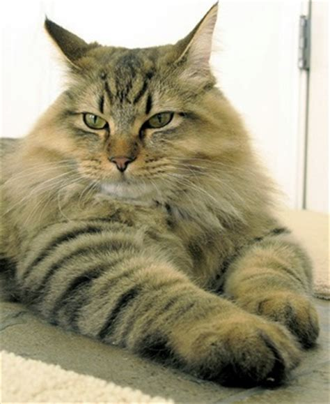 large house cat large domestic cat breeds