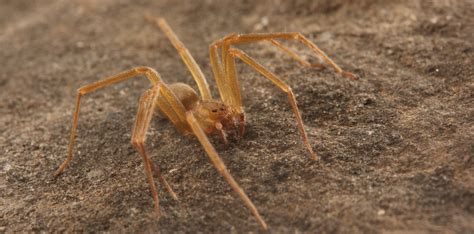 spider   brown recluse spiderbytes