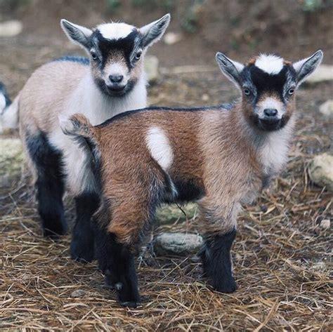 Pygmy Goat Barn Best 25 Pygmy Goats Ideas On Pinterest Goats Baby Pygmy Goats And Miniature Goats