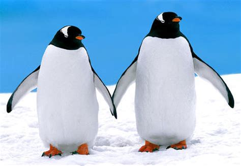 Pinguin Setbie quot gentoo penguins holding quot photography prints and posters by rentz artflakes