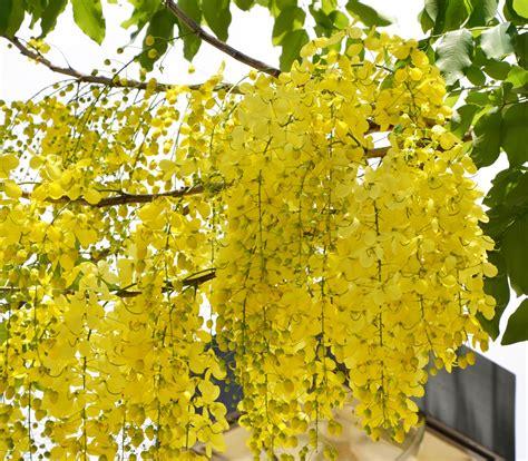 Shower Tree by Rainbow Shower Tree Cassia X Nealiae