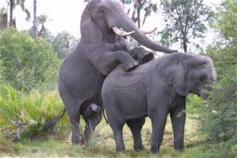 como se aparean los animales con humanos apareamiento entre elefantes en cautividad animales en