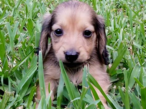 mini dachshund puppy rescue miniature dachshund puppies adoption puppies puppy