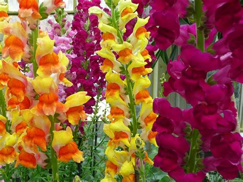 the flower garden snapdragons