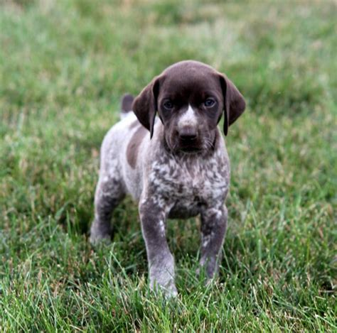german haired pointer puppies akc german shorthaired pointer pups craigspets