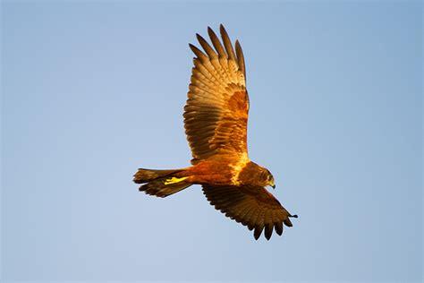 marco bertazzoni birds of prey yellow billed kite