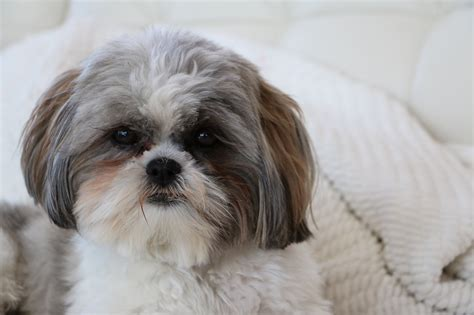 shih tzu small breeds top 20 cutest small breeds