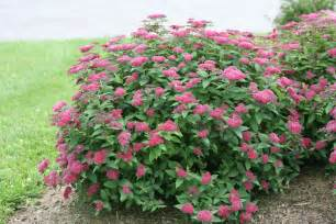 double play 174 red spirea spiraea japonica proven winners