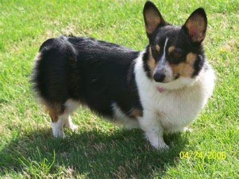 tri color corgi puppy the tri color corgi from corgi dogs