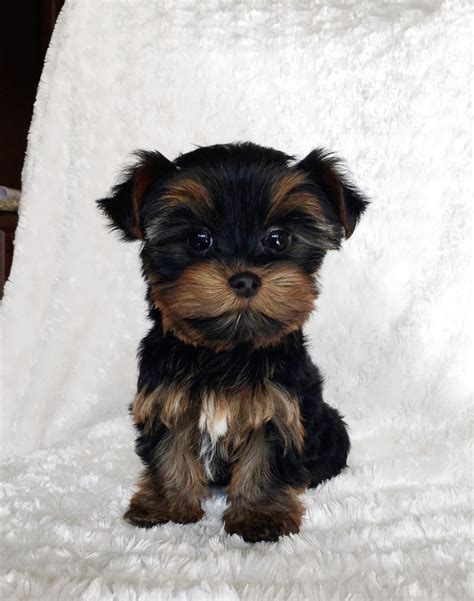 teacup yorkie puppies price range teacup yorkie puppy iheartteacups