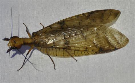 coleotteri volanti insetti 187 l orologiaio miope national geographic